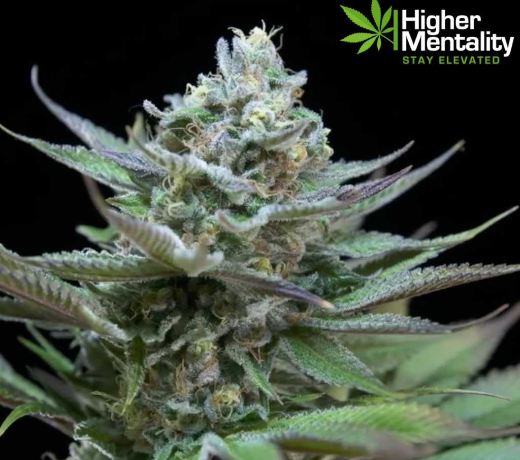 potent kush strains kush marijuana