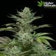 Fruity weed strains marijuana