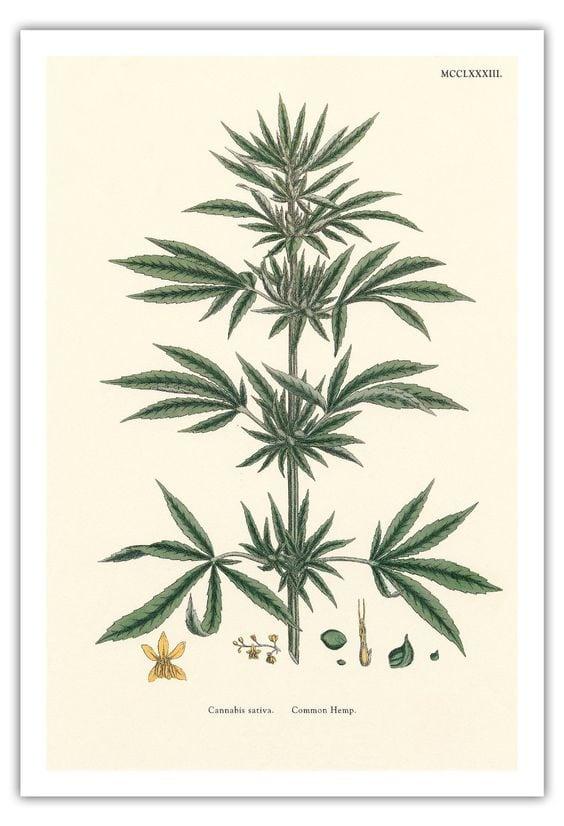 types of marijuana cannabis sativa