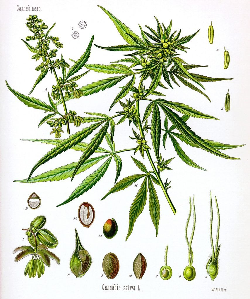 Cannabis sativa Koehler drawing 854x1024 - Growing Marijuana - The Advantages of Growing Your Own Medicine
