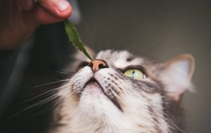 CBD Oil for Cats with Cancer: Lymphoma in Cats and Other Diseases