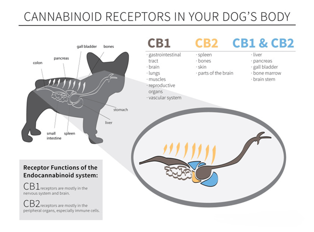 how CBD dog treats interact with a dogs endocannabinoid system.