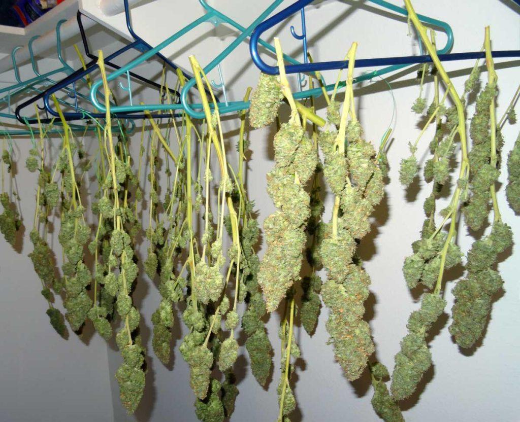 Drying marijuana from hangers