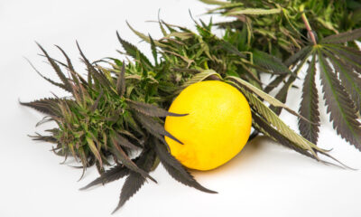 What are terpenes and why are they important?